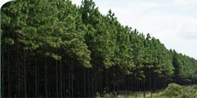 Forestry Unit SC - Campina da Alegria