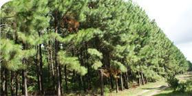 Forestry Unit RS - Balneário Pinhal